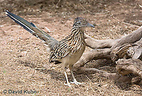 0610-1105  Greater Roadrunner (Chaparral Cock or Ground Cuckoo), Geococcyx californianus  © David Kuhn/Dwight Kuhn Photography