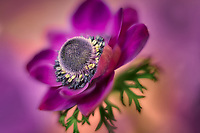 Close up of Anemone flower.