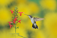 Ruby-throated Hummingbird (Archilochus colubris), female in flight feeding on Tropical Sage (Salvia coccinea) flower, Hill Country, Texas, USA