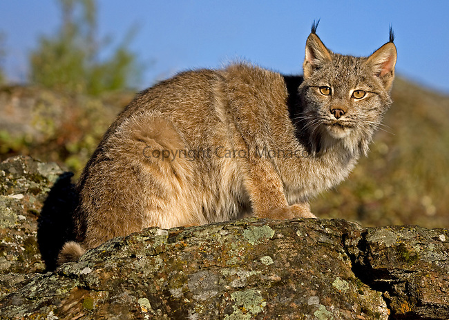 Canada lynx sitting on a rock against the blue sky, Montana, North America