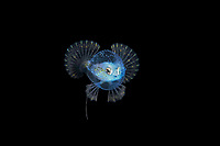 A larval Pancake Batfish, Halieutichthys aculeatus, photographed during a Blackwater drift dive in open ocean at 50 feet with the bottom 650 feet below, Palm Beach, Florida, USA, Atlantic Ocean