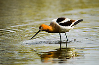 With its elegant profile and striking coloration, the American Avocet is unique among North American birds. Here, a migratory Avocet in Colorado searches for food in a lake in early Spring.