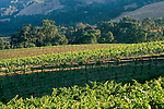 Vineyards, oak trees, and hills in summer, Knights Valley, Sonoma County, California