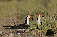 Black Skimmer (Rynchops niger), adult pair calling, Port Isabel, Laguna Madre, South Padre Island, Texas, USA