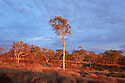 Gum tree in Karijini National Park. Western Australia.