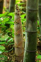 France, Gard, Générargues, LA BAMBOUSERAIE :  nouvelle pousse du bambou, Phyllostachys nigra 'Henonis'.