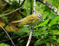 Adult red-eyed vireo at Paradise Pond