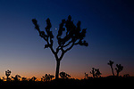 Crescent moon over Joshua Tree before sunrise
