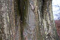Hainbuche, Hain-Buche, Weißbuche, Weissbuche, Rinde, Stamm, Borke, Carpinus betulus, Common Hornbeam, bark, rind, Charme commun, Charmille