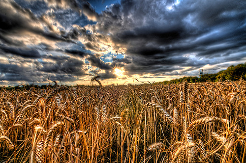HDR wheat field in Nottinghmashire, late summers evening