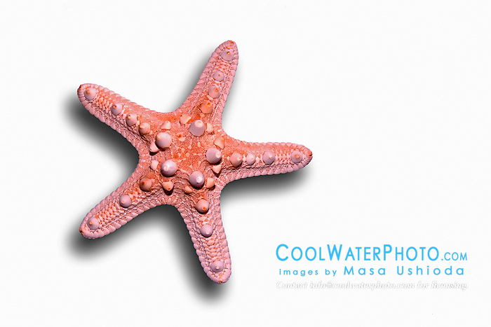 Chocolate Chip Sea Star or Starfish skeleton, Protoreaster nodosus