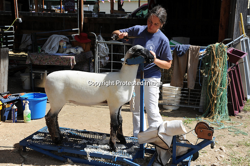 Sheep shearing at Cheshire Fair in Swanzey, New Hampshire USA