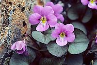 Flett's violet (Viola flettii)--rare, endemic wildflower of alpine-subalpine areas of Olympic National Park, Wa.
