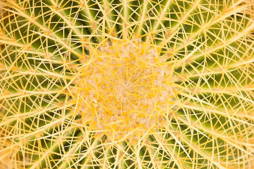 Phoenix, Arizona; a Golden Barrel Cactus (Echinocactus grusonii) seen from above forms a spiral pattern