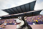 Husky dog, mascot, fan..---------University of Washington (UW) vs. University of California-Berkley (Cal) at Husky Stadium on Saturday, September 24, 2011. (Photo by Dan DeLong/Red Box Pictures)