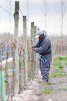 Vineyard worker tying down the remaining branches after winter pruning. Bodega NQN Winery, Vinedos de la Patagonia, Neuquen, Patagonia, Argentina, South America