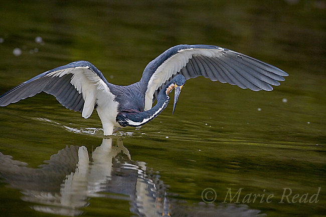 Tricolored Heron (Egretta tricolor), hunting for food with outspread wings, Estero Lagoon, Florida, USA