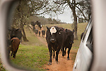 In the middle of the cattle drive during spring branding and calf marking at the Lavaggi Ranch in the Sierra Nevada Foothills near Plymouth, California..