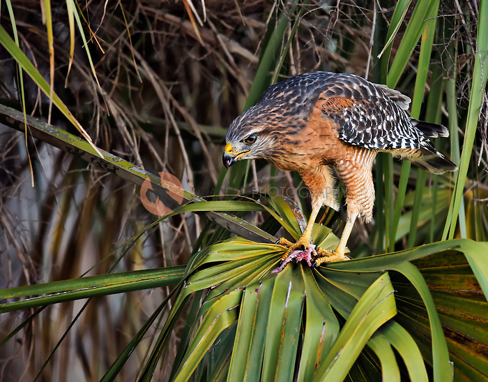 Red-Shouldered Hawk feeding on snake, sitting in a plam tree