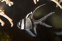 Banggai-Kardinalbarsch, Zebra-Kardinalbarsch, Zebrakardinalbarsch, Kardinalbarsch, Molukken-Kardinalbarsch, Kauderni, Schneeflocken-Kardinalfisch, Pterapogon kauderni, Apogon kauderni, Banggai cardinalfish, Banggai cardinal fish, Kardinalbarsche, cardinalfishes, Apogonidae