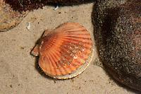 Kleine Kammmuschel, Kleine Kamm-Muschel, Kleine Pilgermuschel, Kleine Pilger-Muschel, Reisemantel, Aequipecten opercularis, queen scallop