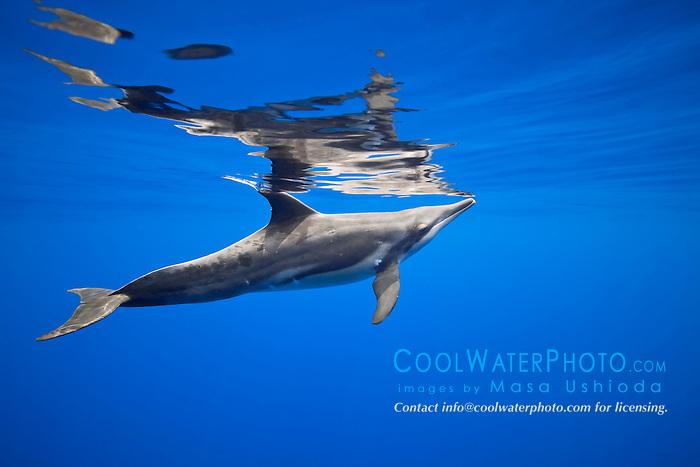 rough-toothed dolphin, Steno bredanensis, Kona Coast, Big Island, Hawaii, USA, Pacific Ocean