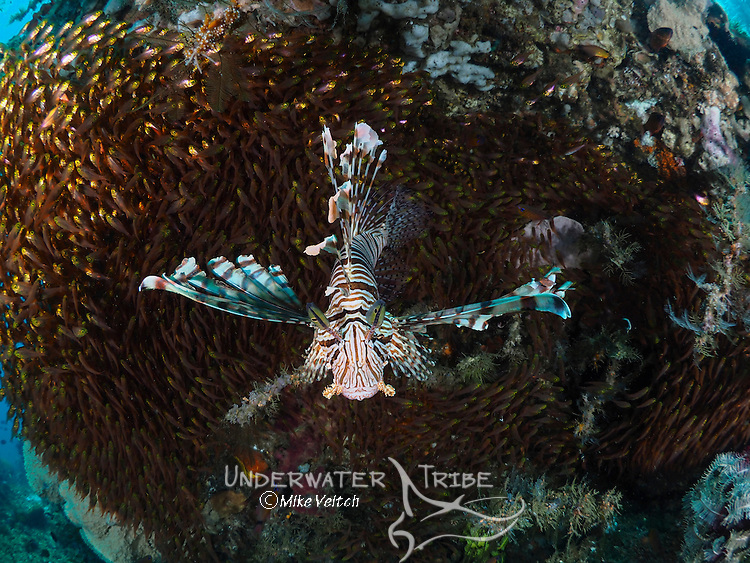 A lionfish, Pterois volitans, hunts a school of golden sweepers, Paraprianthus ransonneti, ball together under a large coral head, Lembeh Strait, North Sulawesi, Indonesia, Pacific Ocean