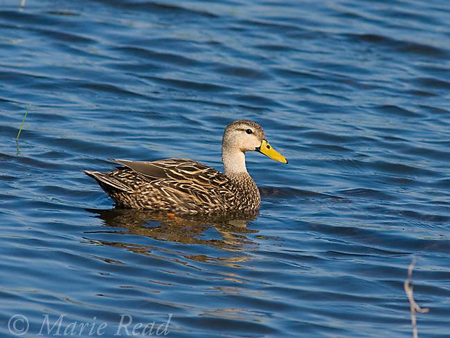Mottled Duck (Anas fulvigula) male swimming, Brevard County, Florida, USA