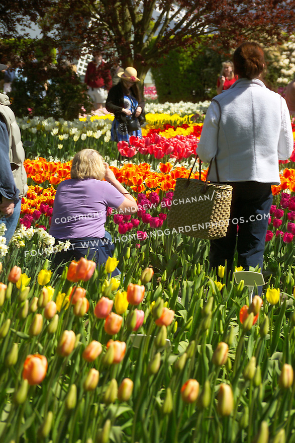 A visitor to a commercial flower grower's display garden in Mt. Vernon, WA in the Skagit Valley of Washington state crouches to photograph a massed springtime bed of tulips