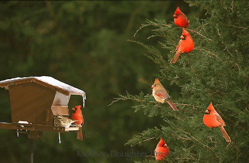 Northern Cardinals, Cardinal cardinalis in a cedar tree waiting for the bird feeder in winter