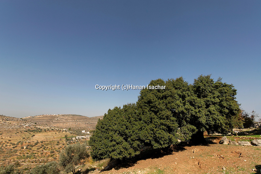 Judea, Kermes Oak tree (Quercus Caliprinos) in Ein Kinia