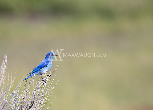 A male mountain bluebird lives up to its name.