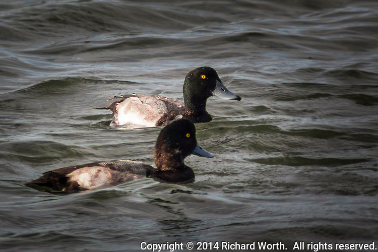 With yellow eyes and blue bills, two scaup float and bob on the rippling waters of San Francisco Bay by the San Leandro Marina Park.