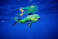 mahi mahi, dolphin fish, or dorado cow, Coryphaena hippurus, on fishing line, Big Island, Hawaii, USA, Pacific Ocean