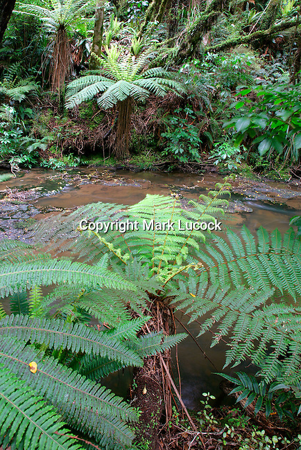 Tree fern overhanging stream near Parakaunui Falls, Catlins, New Zealand