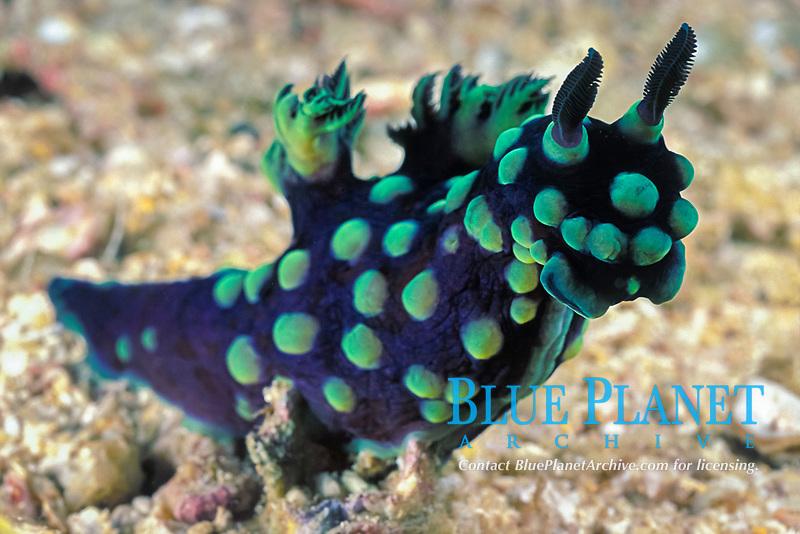 nudibranch or sea slug, Nembrotha cristata Gato Island Marine Reserve, near Malapascua, off Cebu Island, Philippines