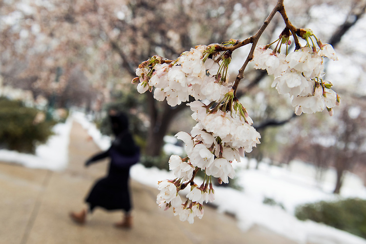 UNITED STATES - MARCH 14: Cherry blossoms remain on the branch in Lower Senate Park after snow and freezing rain fell over the region, March 14, 2017. (Photo By Tom Williams/CQ Roll Call)