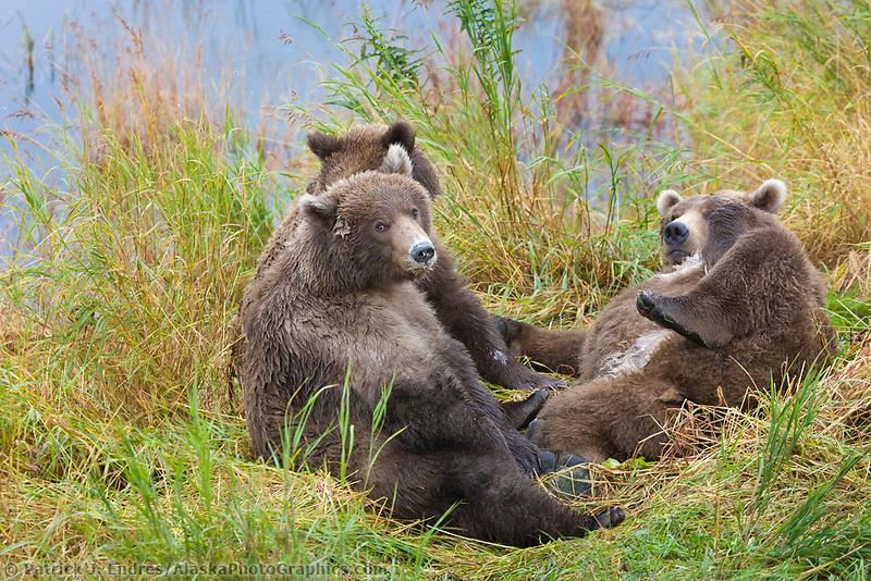 Brown bear sow and cubs, Katmai National Park, Alaska.