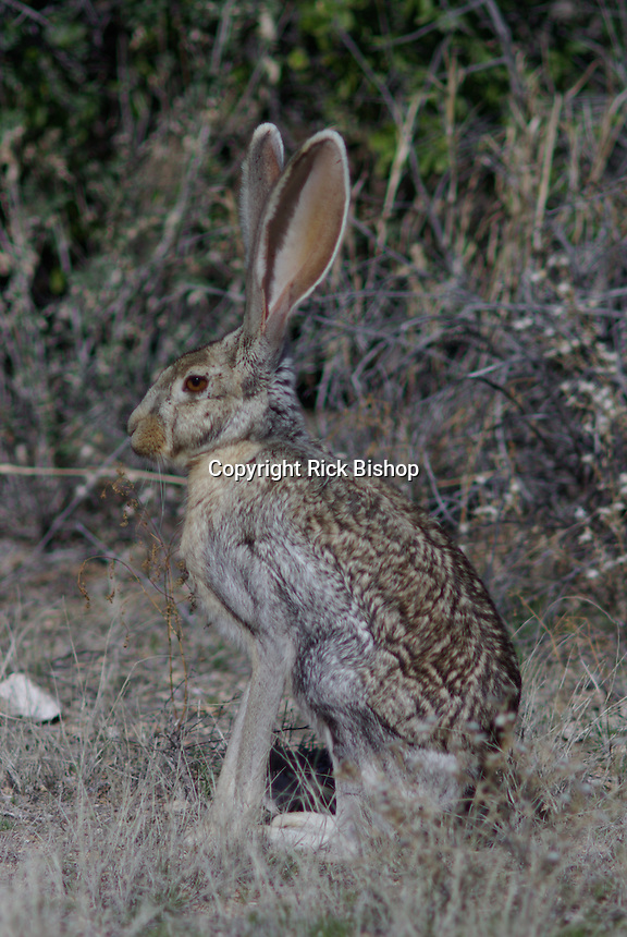 Antelope Jackrabbit (Lepus alleni) seen in southern Arizona on a winter day.