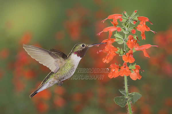 Broad-tailed Hummingbird, Selasphorus platycercus,male in flight feeding on Lady in Red Sage (Salvia coccinea),Rocky Mountain National Park, Colorado, USA, June 2007