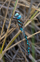 339300019 a wild male california darner rhionaeschna californica perches on a grass stem near ash creek at ash creek campground lassen county california