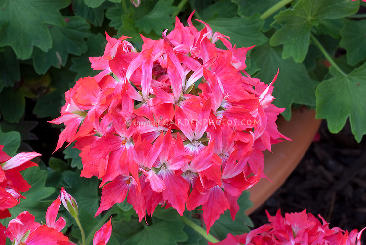 Pelargonium Fireworks Cherry White, annual geranium with hot pink flowers, Fireworks series
