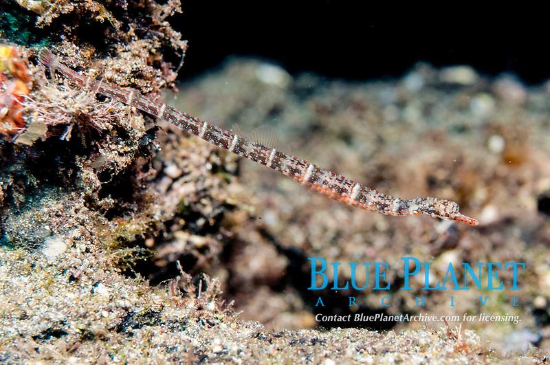 Offshore Pipefish, Micrognathus natans, on black sand, Blue Water Muck dive site, Uhak River, Wetar Island, near Alor, Indonesia, Banda Sea, Pacific Ocean