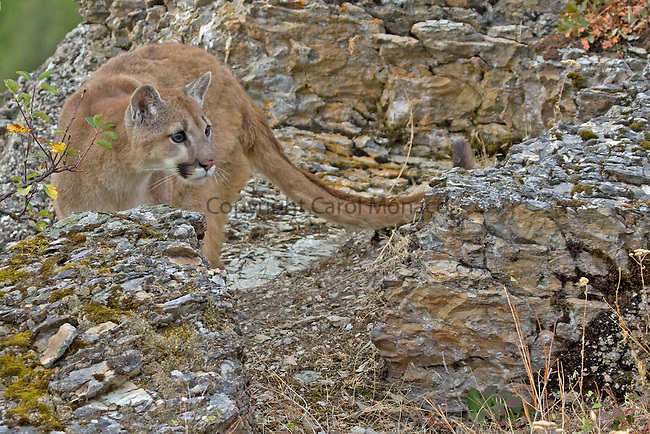 Mountain lion coming out through the rocks, United States