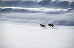 Two coyotes follow the tracks in the snow along Pelican Creek in Yellowstone National Park, Wyoming.