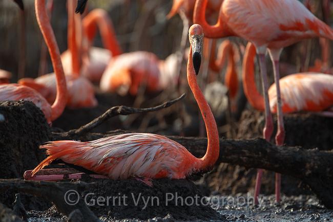 American Flamingo (Phoenicopterus ruber) incubating. Yucatan, Mexico.