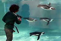A child look at the penguins in the tub.  <br /> Nine pairs of African Penguins, also known as the jackass penguin and black-footed penguin, were welcomed by Rome's biopark. <br /> Roma 27-12-2018 Bioparco <br /> Foto Andrea Staccioli / Insidefoto