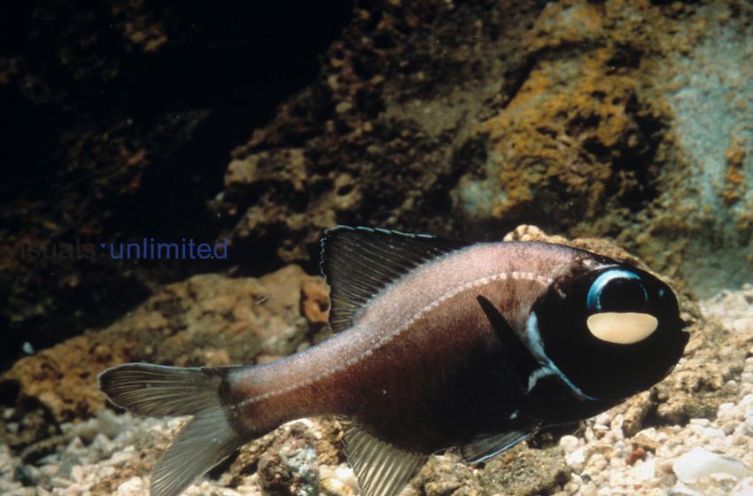 Bioluminescent Flashlight Fish, Anomalopidae.