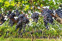 France, Gironde (33), Saint-Émilion, classé Patrimoine Mondial de l'UNESCO, vignoble AOC Grand Cru prêt à être vendangé // France, Gironde, Saint Emilion, listed as World Heritage by UNESCO, AOC Grand Cru vineyard ready to be harvested