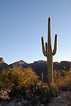 Saguaro (Carnegiea gigantea) and the Santa Catalina Mountains, Sabino Canyon Recreation Area, Coronado National Forest, Arizona